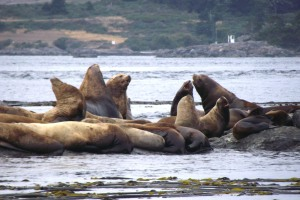 California Seal Lions and Harbour Seals